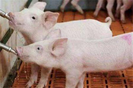 老兽医教您迅速诊断5类猪病,帮您获得更大利润!