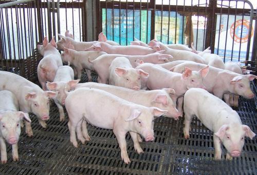 猪的行为学!养猪必须懂猪