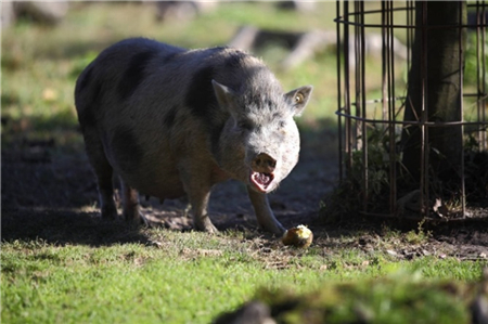 仔猪被压死多可惜,如何防压有妙招!