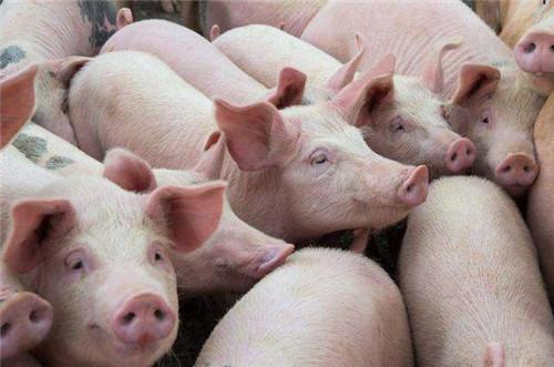 猪场母猪产仔少?这9大原因是罪魁祸首