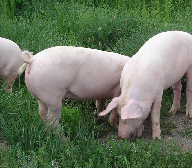 夏季母猪热应激实在划不来!注意这4点,就能减少损失