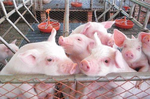 最新调研!河南局地能繁母猪损失近5成,多省限制生猪调运