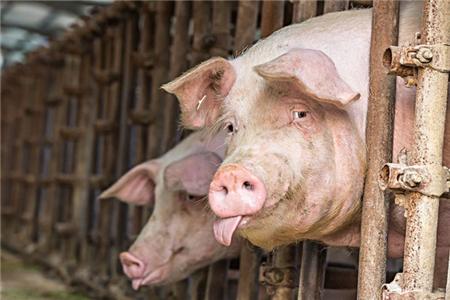猪在打针的时候挣扎怎么办?要想方设法安抚好猪的情绪!