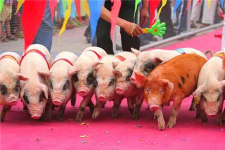 为何生猪养殖会越来越集中在拥有资金优势的企业?