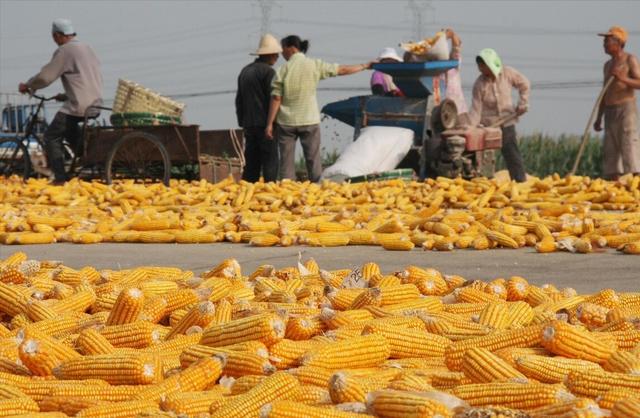 玉米供应缺口修补之前 价格仍有上涨可能