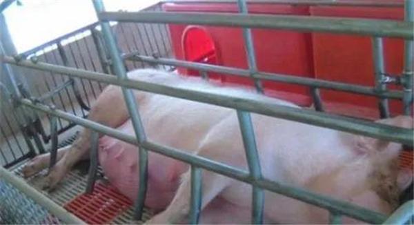 如何判断母猪是否产完?判断母猪生产结束的方法