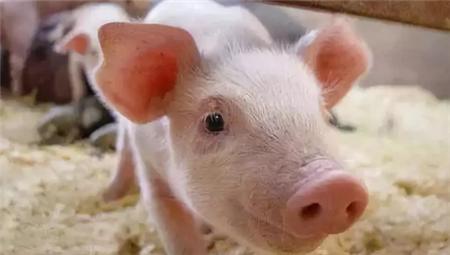 母猪分娩前后必备6种药,老兽医教你如何科学用药,全在这里了!