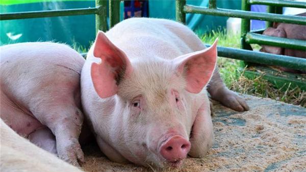 猪价快速反弹又回落!未来是否延续跌势?