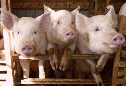 春季到了,猪场饲养管理应注意哪些?
