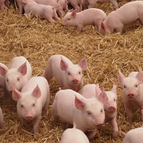 转季时节小猪突然倒地死亡,原因竟是它们!