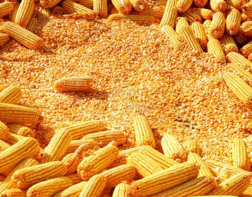 临储玉米拍卖,玉米后续行情如何?