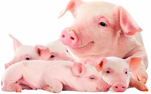 厉害了!根据病猪姿势就能诊断出各种猪病