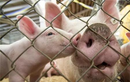 引起保育猪喘气消瘦的三大原因分析