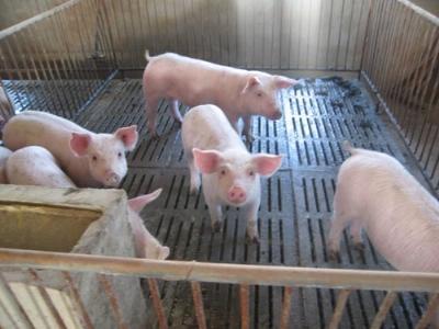"""猪""""冷泻""""病是怎么回事?怎样防治?"""