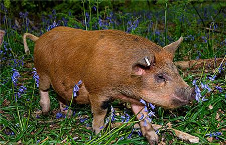 带猪消毒需要遵循的7大原则,这样做能彻底消毒且不会伤害猪
