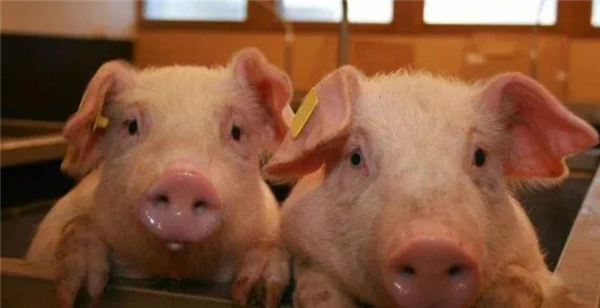 玉米涨,猪价跌,资本养猪动作频频,未来三年养猪前景如何