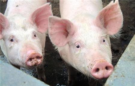 猪吃了盐也会中毒?