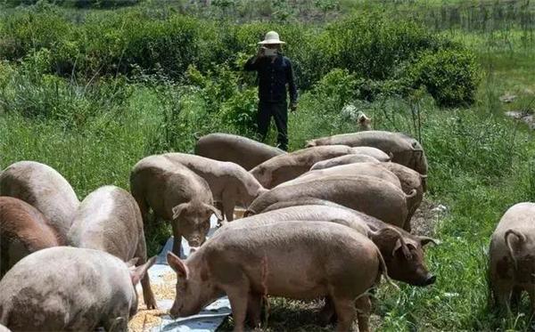 猪场消毒是一项非常重要的防病手段,养猪场该如何消毒?