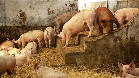 猪场厂长都在疯传的猪病防治黄金法则!