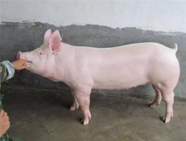 怎么养母猪才能不有子宫炎?