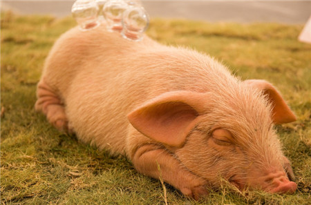 养猪高手技术 咳嗽治疗小秘方