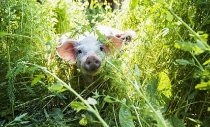 夏季母猪受胎率低----种公猪采精、人工授精技术分析