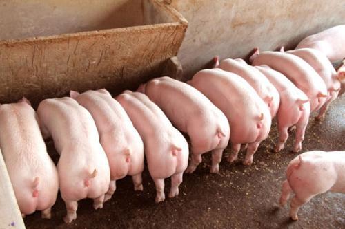 您知道产房母猪饲养管理应注意哪些问题吗?