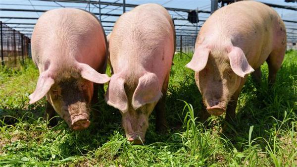 我国进口巴西猪肉量猛增34%!又恢复1国猪企输华