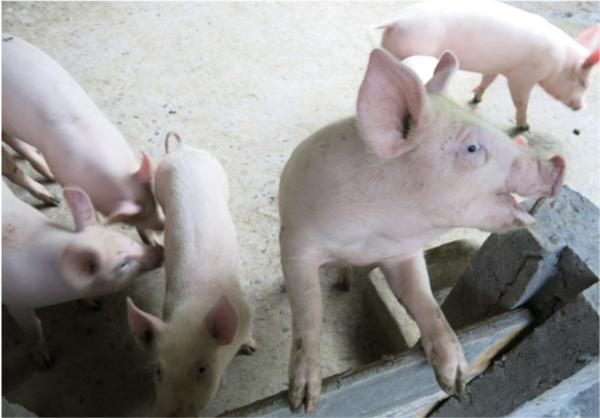 猪价直线回落,成本居高不下,行业洗牌要来?小散户该何去何从?
