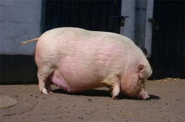 母猪产前产后不吃怎么办?怎么预防和治疗