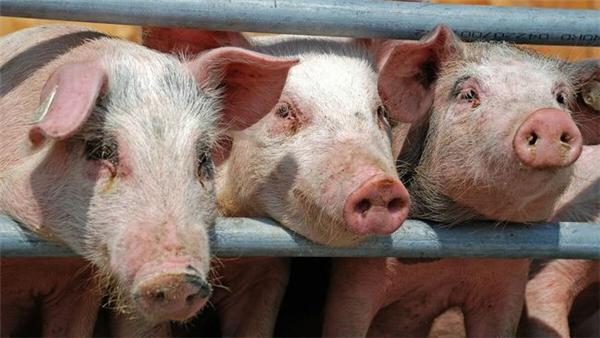 市场虽缺猪,但架不住强抑猪价的手段频繁加码,猪价不到底不休?