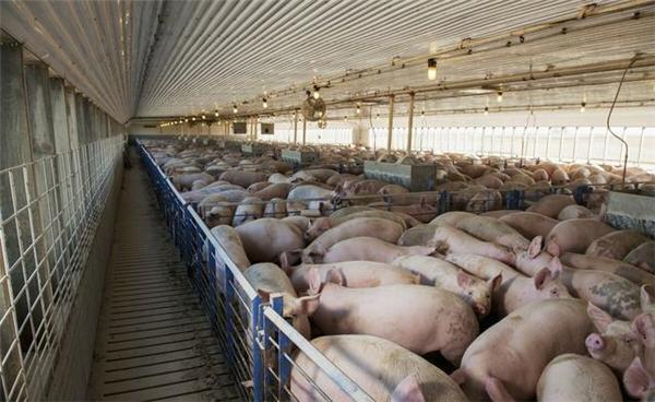 """021年生猪价格连续下跌,能否落到7到10元?会推动玉米大涨吗?"""""""
