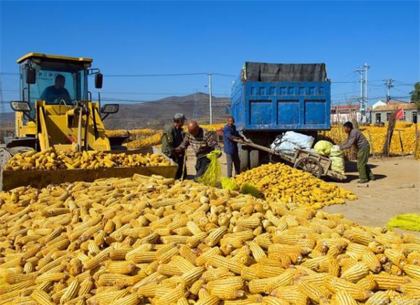 越卖越跌,华北全线跌破三千,玉米彻底被打回原形?