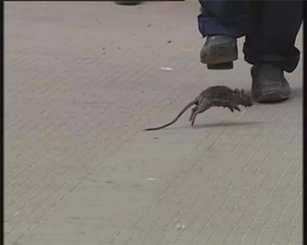 灭鼠工作—春季猪场必不可少的行动