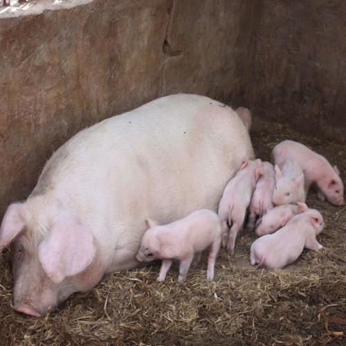 八种猪皮肤颜色,对应这几种猪病?值得养猪人收藏!