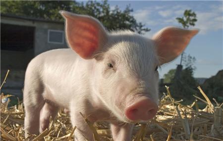 哺乳仔猪死亡的原因是这样的!