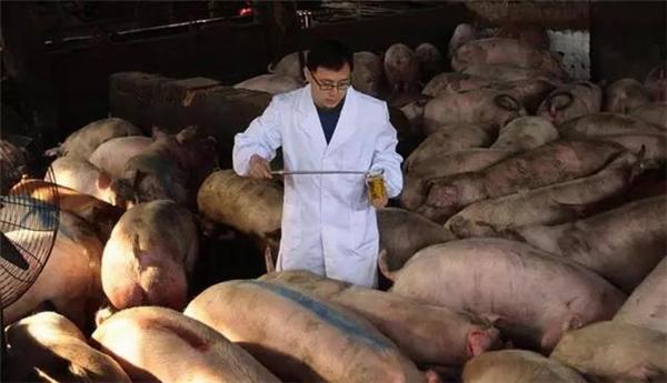 磺胺药治猪病竟导其中毒,错出在哪儿?咋解救?