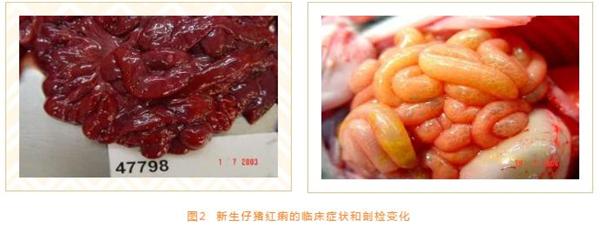 易与猪大肠杆菌病混淆的腹泻类疾病鉴别诊断