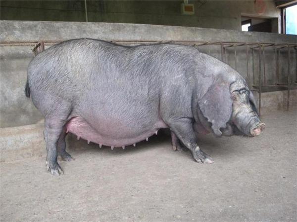 母猪便秘采食泌乳下降怎么办?猪场母猪便秘的原因以及解决办法!