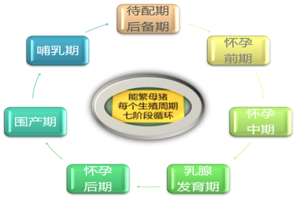 能繁母猪七阶段循环饲喂法