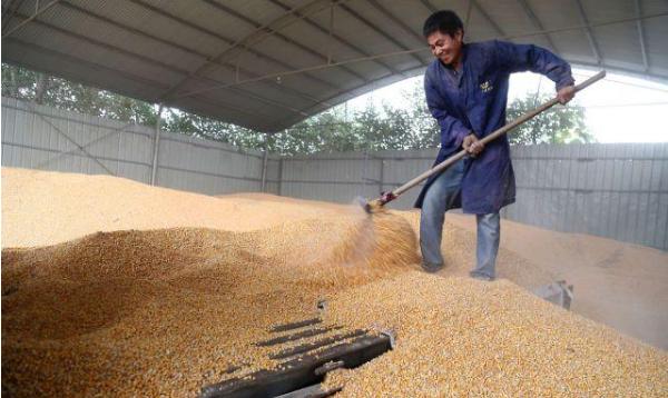 玉米再添利空,储备库停收,贸易商收购价跌破1.4,价格崩了?