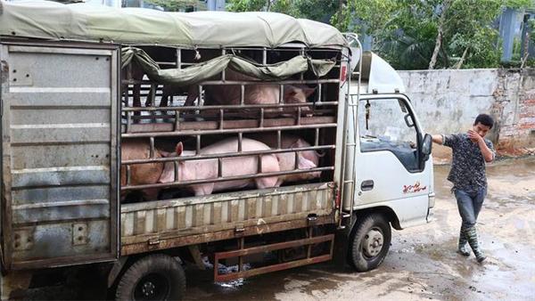 猪价横盘多地飘红,1个新信号,猪市洗牌来袭,这拨人或要退出!