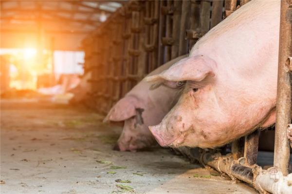 猪肉大跌10.48元,猪价逆转上涨,肉价要触底反弹?2个好消息!