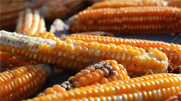 猪价、粮价预警:猪价暴降27%,玉米价格涨跌两极反转!