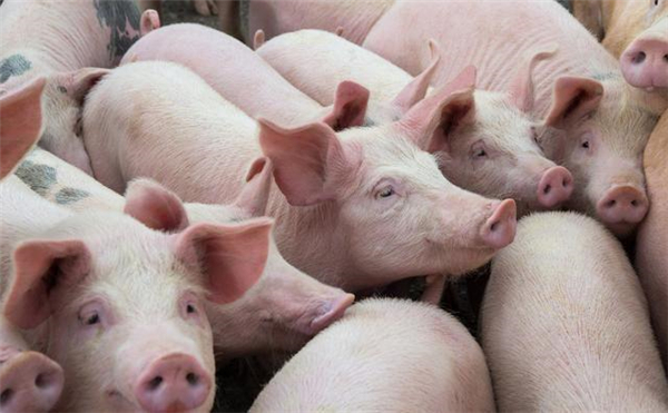 """6地猪价飘红上涨,3月生猪价格迎来开门红,附3月1号猪价表"""""""