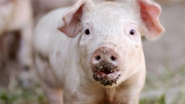 """0涨1跌!猪价下跌""""熄火"""",3月猪价要""""一红到底""""?附17日猪价"""""""