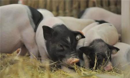猪病发病数量:猪肺线虫病的诊断与防治