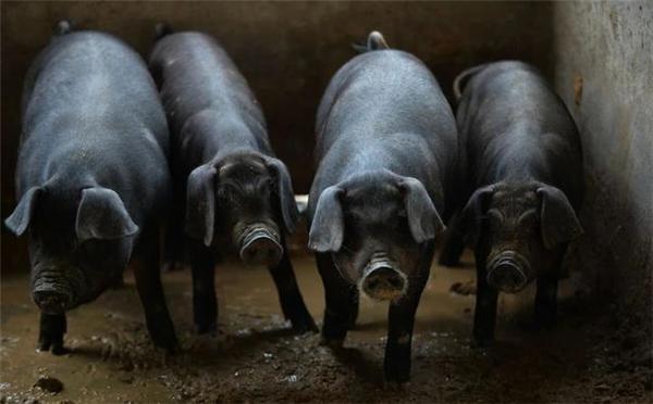 养猪人做好4件事,让春季养猪无忧!