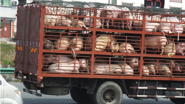 猪价涨跌变化中出现诡异行情,为何始终难以跌破13元?有何说法