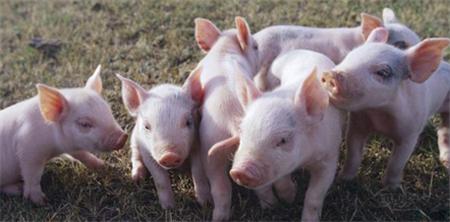饲养管理   保育猪饲养管理要点以及注意事项